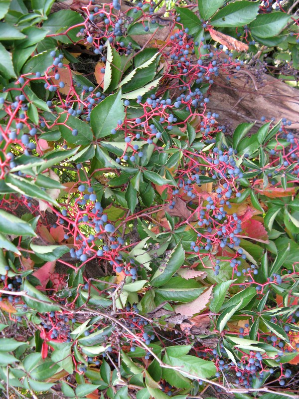 Parthenocissus quinquefolia vite del canad for Lantana strisciante