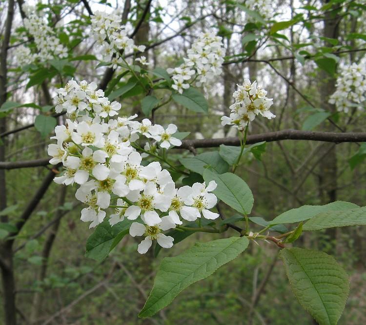 Fiori Bianchi Aprile.Prunus Padus