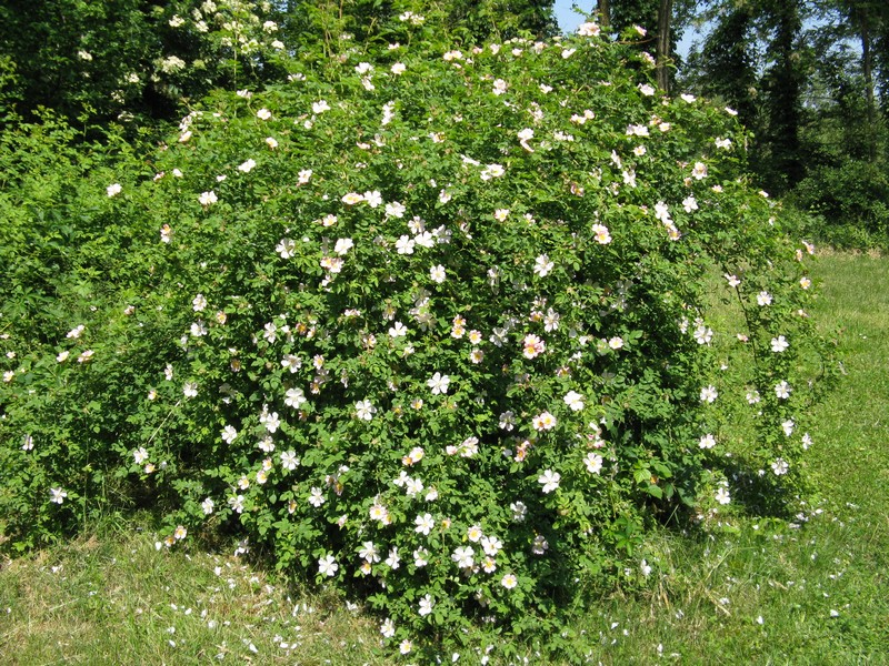 Rosa canina rosa selvatica for Rosa pianta